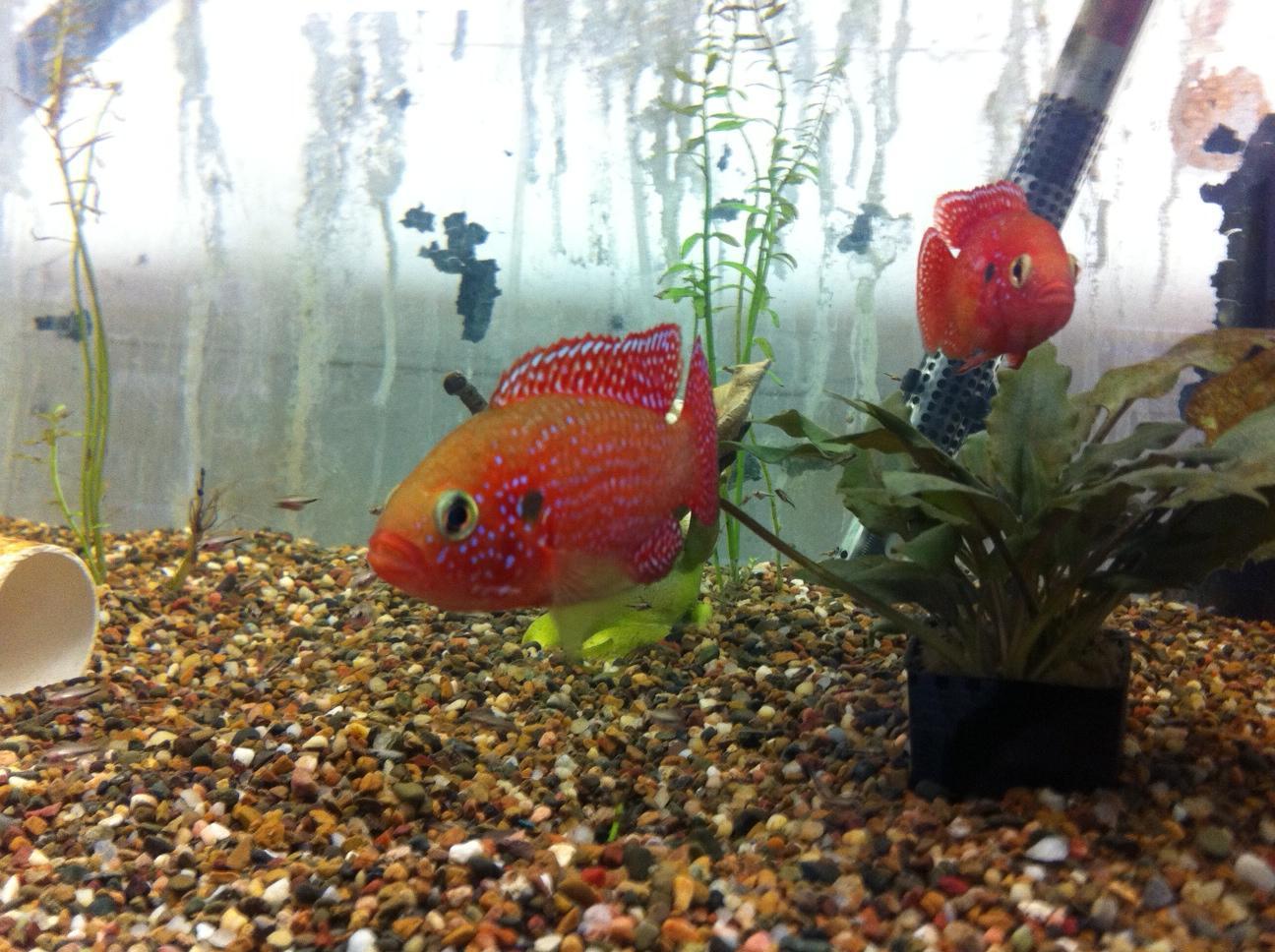 Freshwater jewel fish - Advertisements