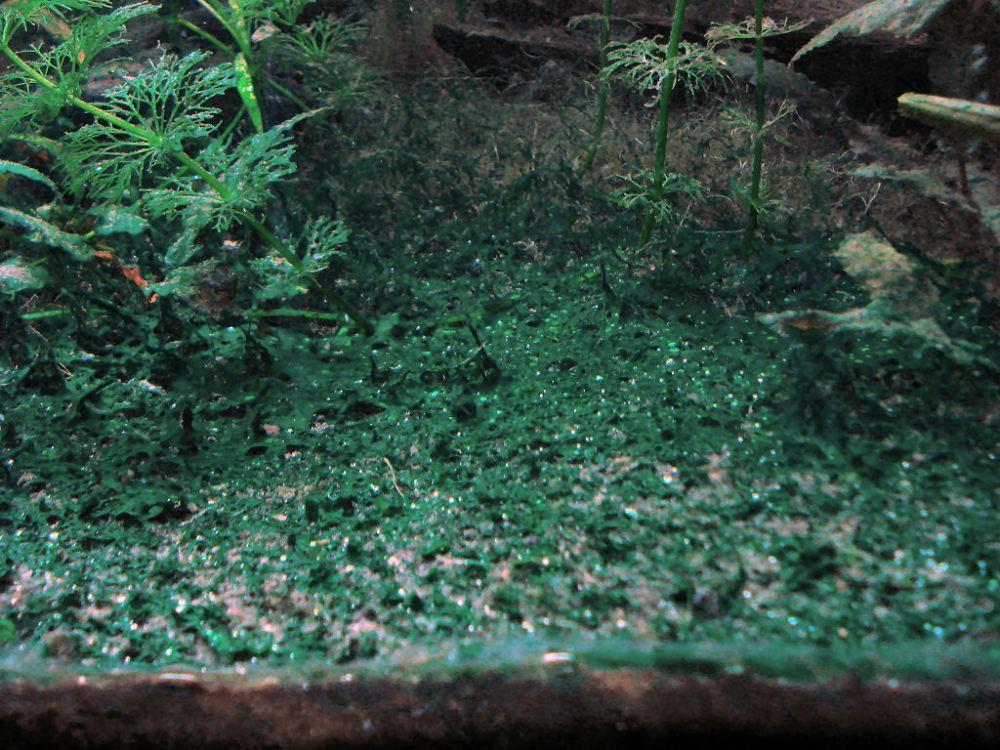 Can you use erythromycin as treatment for blue-green algae (Cyanobacteria) in aquariums? (2/6)