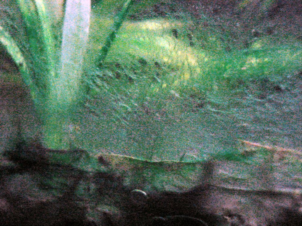 Can you use erythromycin as treatment for blue-green algae (Cyanobacteria) in aquariums? (3/6)