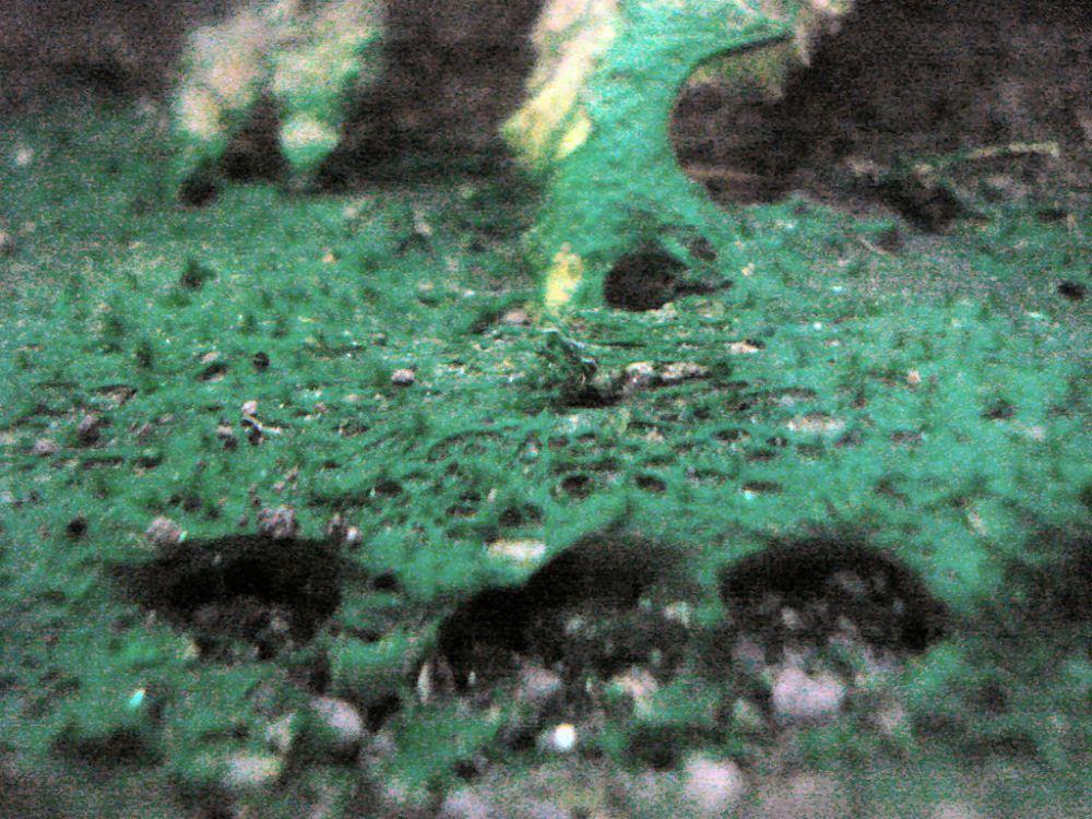 Can you use erythromycin as treatment for blue-green algae (Cyanobacteria) in aquariums? (4/6)