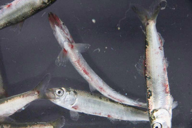 Are you eating fukushima radiation and bloody cancerous for Pacific ocean radiation fish