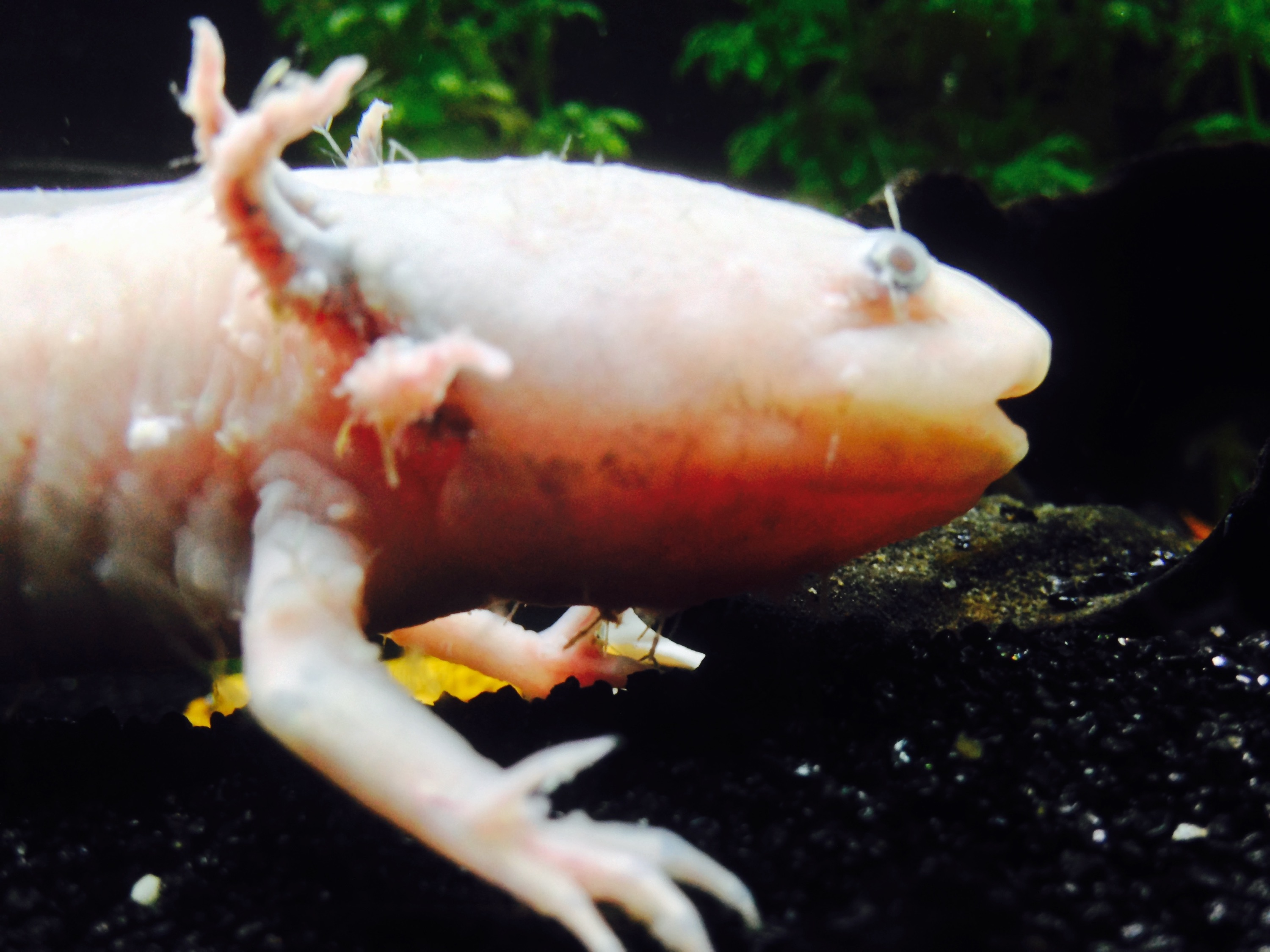 Axolotl from sad to happy a case of severe anchor for Anchor worm on fish